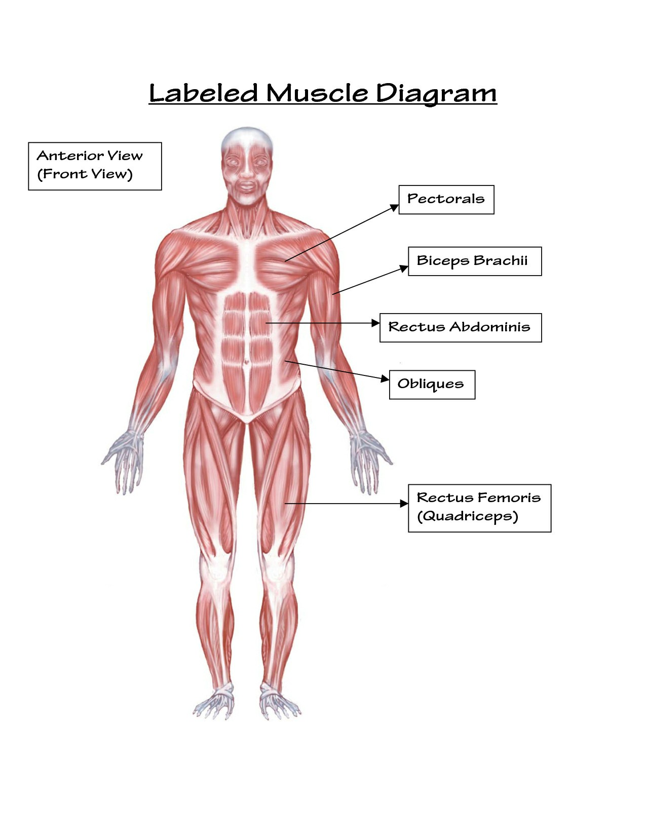 Labeled Body Muscle Diagram Simple Labeled Muscle Diagram Human Body | Diagram | Pinterest Pictures Wallpapers