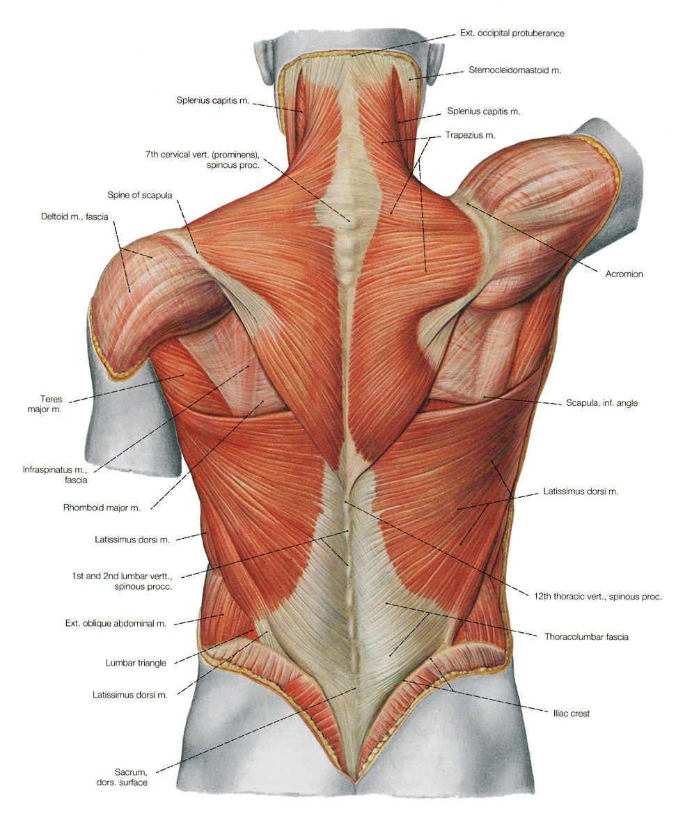 Muscle Anatomy Of The Back 1000+ Images About Illustration   Medical On Pinterest | Lower