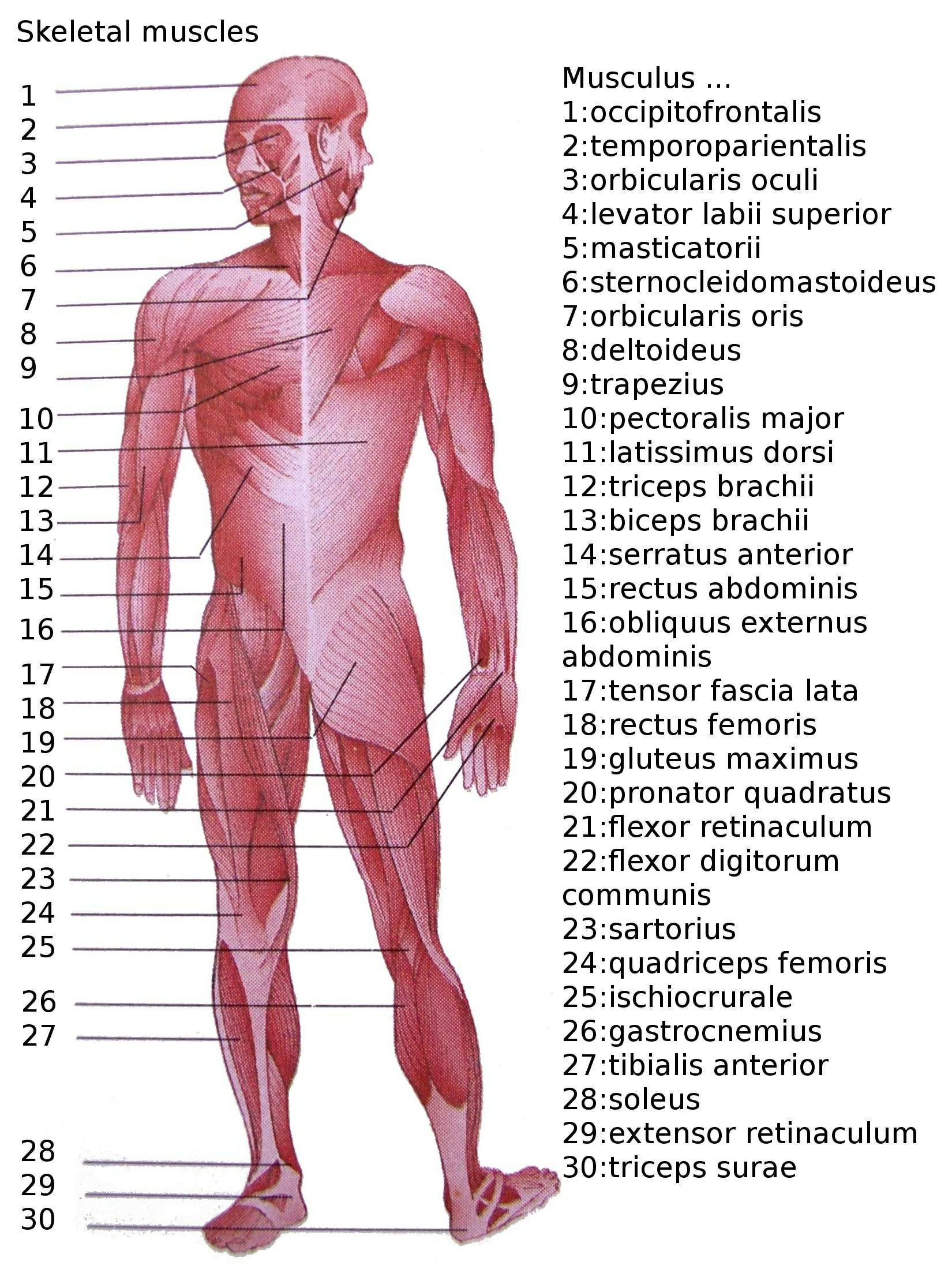 Muscle Images Of Human Body List Of Skeletal Muscles Of The Human Body   Wikipedia