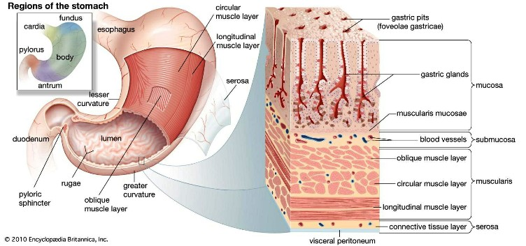 Muscle Layers Of The Stomach Pictures Wallpapers