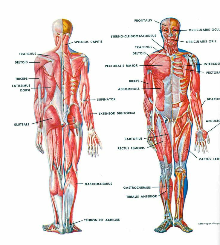 Muscle Parts And Functions Pictures Wallpapers