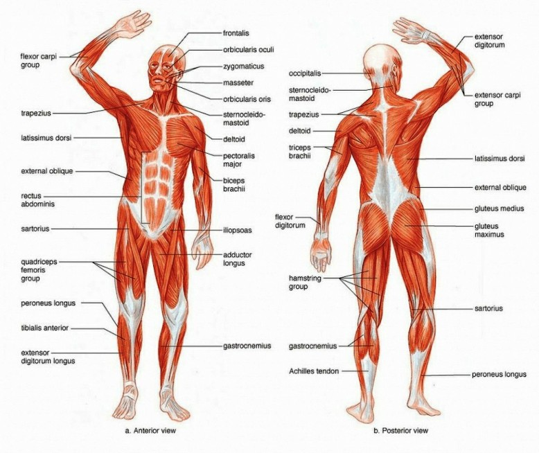Muscle Structure Of Human Body Pictures Wallpapers