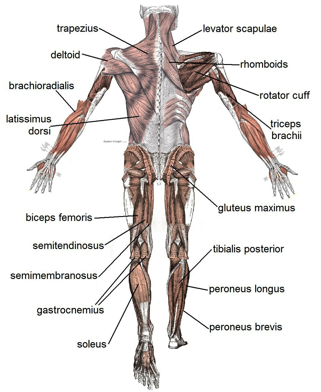 Bones And Muscles In Human Body The Basic Muscles In The Human Body | These Bones Of Mine Pictures Wallpapers