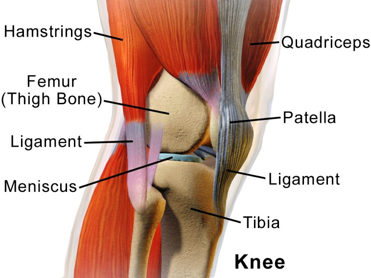 Muscles And Ligaments Around The Knee