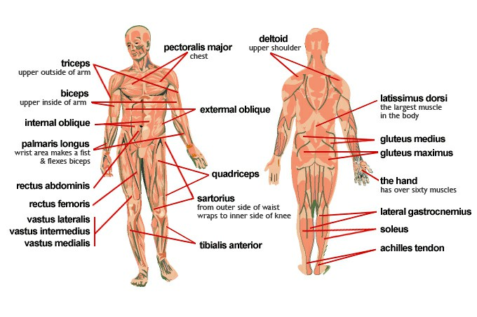 Muscles In The Body And Their Functions Pictures Wallpapers