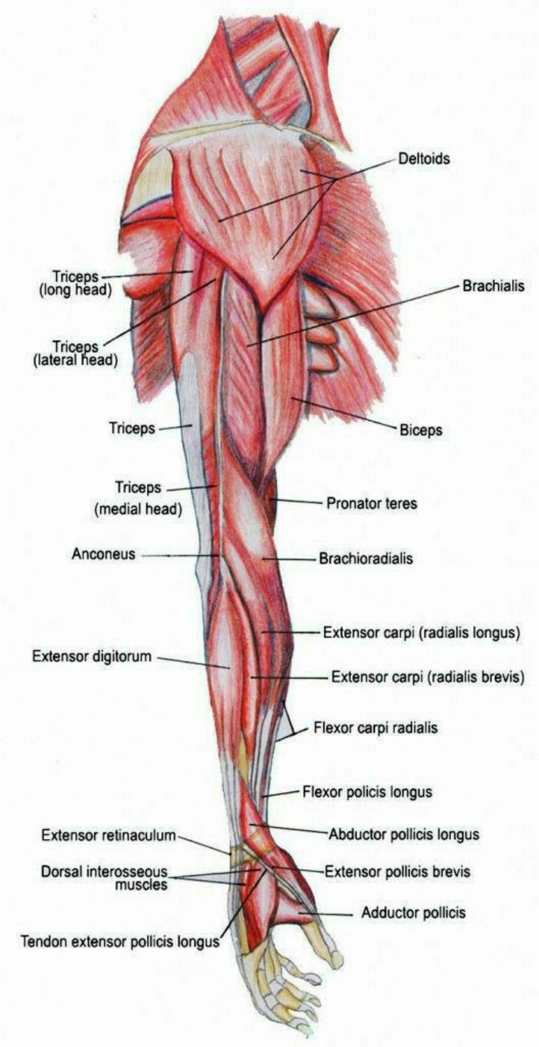Muscles Of Arm Diagram Pictures Wallpapers