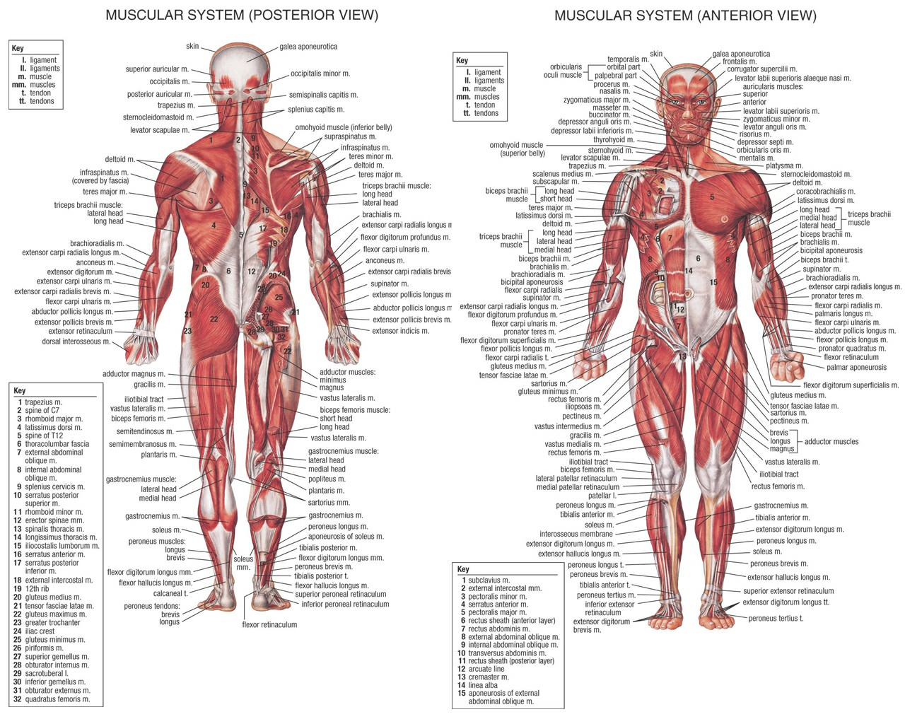 Muscles Of Human Body Diagram Human Anatomy Muscles | Kool.tk