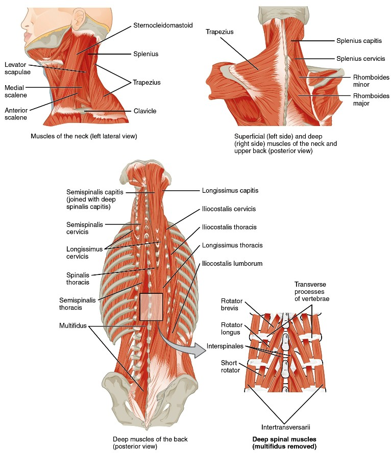 Muscles Of The Axial Skeleton Pictures Wallpapers