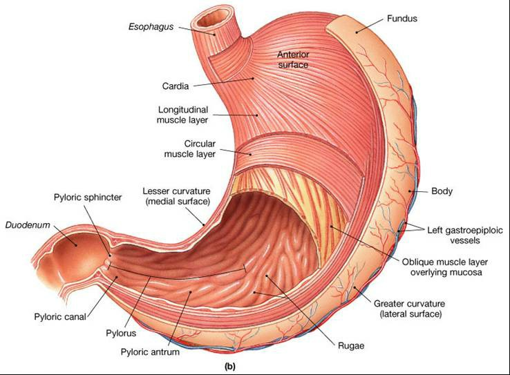 Muscles Of The Digestive System Pictures Wallpapers