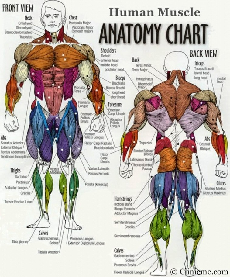 Muscular Diagram Of The Human Body