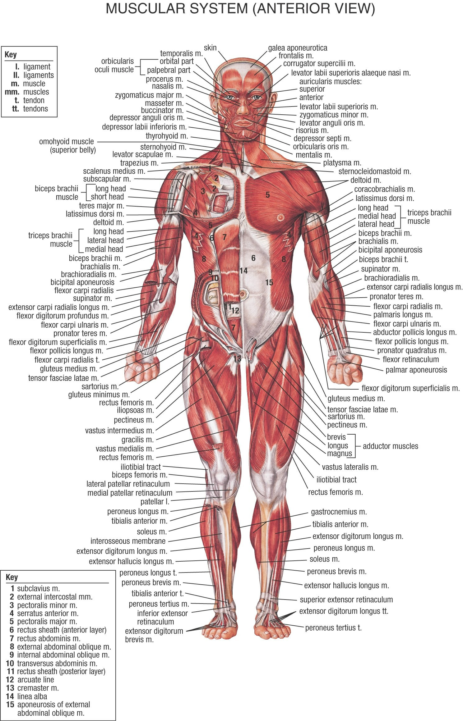 Muscular System Of Human 1000+ Images About Muscular System On Pinterest | Human Anatomy