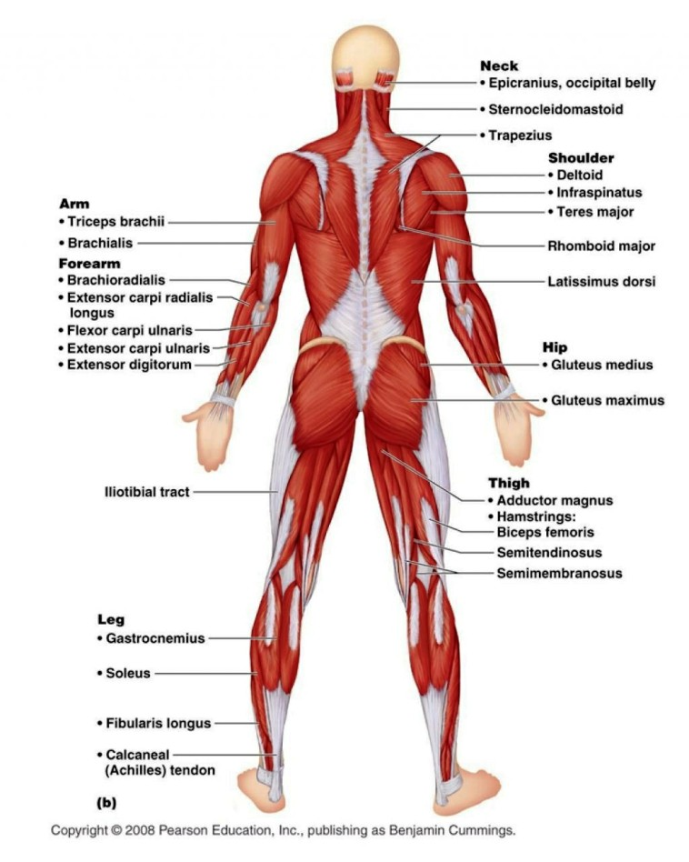 Muscular System Of The Human Body