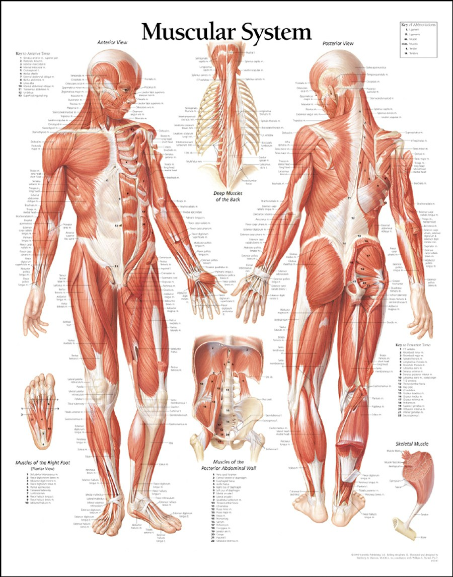 Human Muscular System Parts And Functions Human Body Diagram | Human Body Systems Blank Diagrams | Health Pictures Wallpapers