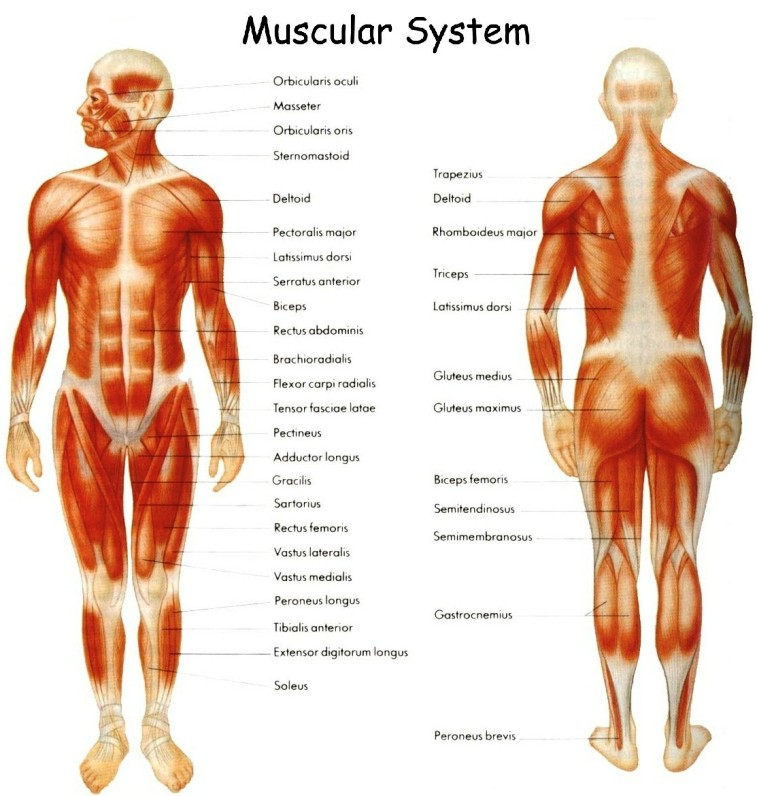 Muscular System Skeletal Muscle Pictures Wallpapers
