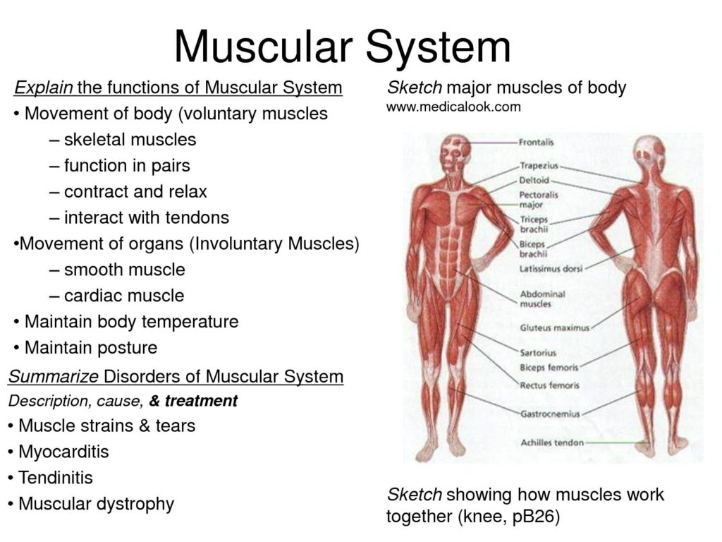 Muscular skeletal system diagram