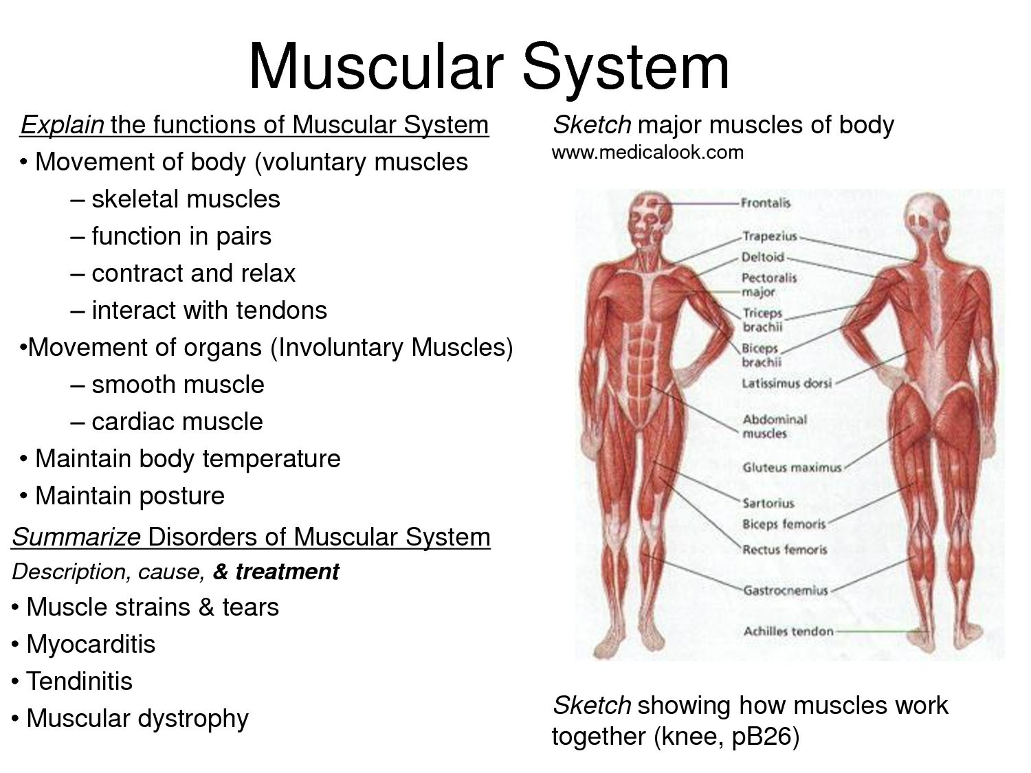Muscular System Structure And Function Muscular System Facts | Anatomy | Pinterest | Muscular System And Pictures Wallpapers