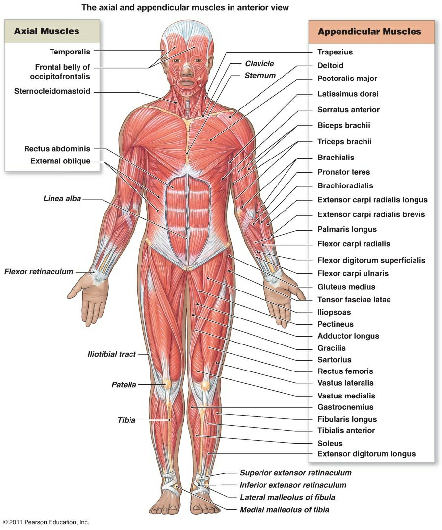 Picture Of Muscular System With Labels Diagram Of Skeletal Muscle System | Diagram