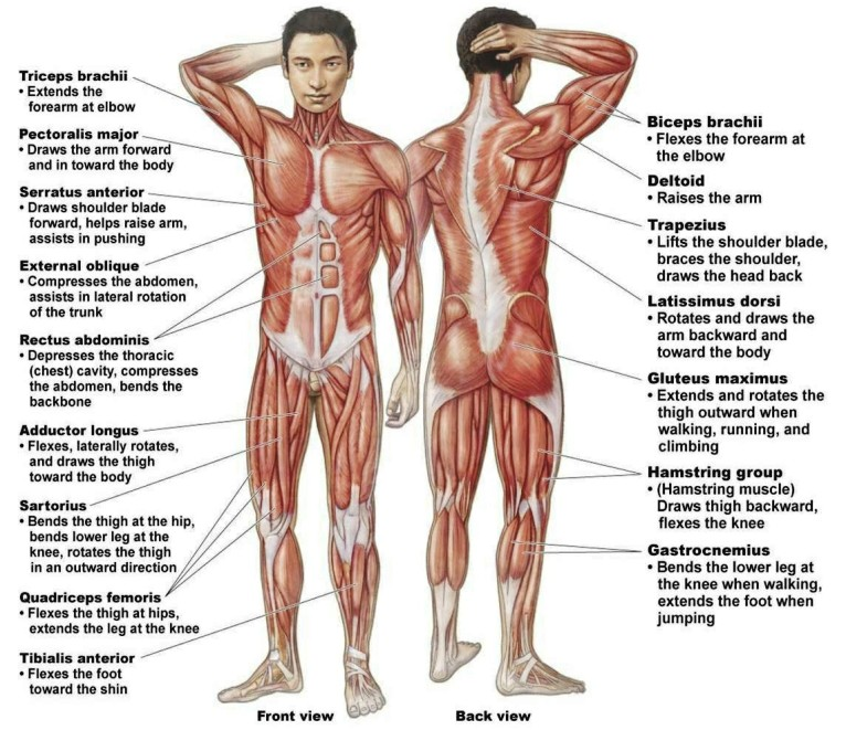 Muscular System Works With What Other Systems