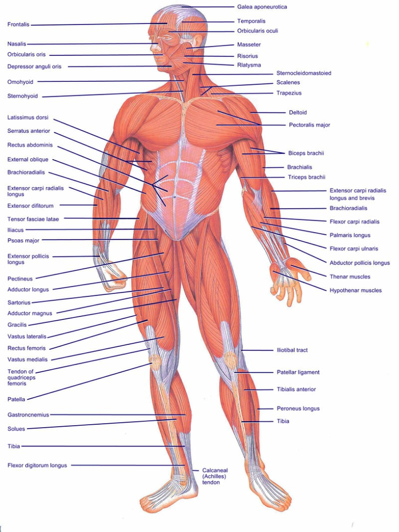 Musculoskeletal System Parts The Musculoskeletal System | The Amazing Human Body Pictures Wallpapers
