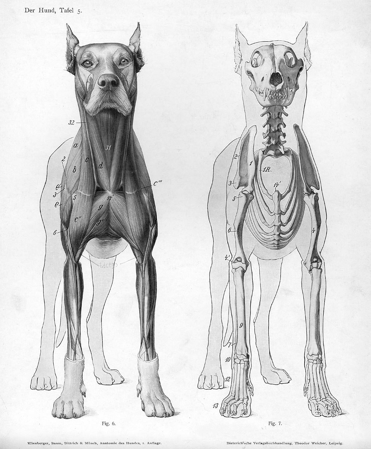 Fancy Liver Anatomy Dog Gallery - Human Anatomy Images ...