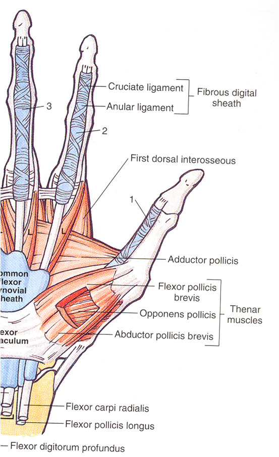 Ligaments Of The Thumb Anatomy Choice Image - human body anatomy
