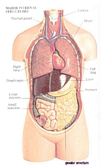 Picture Of All Organs In The Human Body Pictures Wallpapers