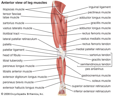 Muscles Of The Leg Anatomy Pictures Wallpapers