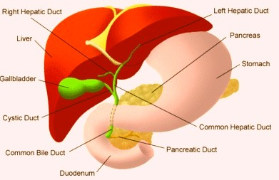 Where Is The Human Liver Located Pictures Wallpapers