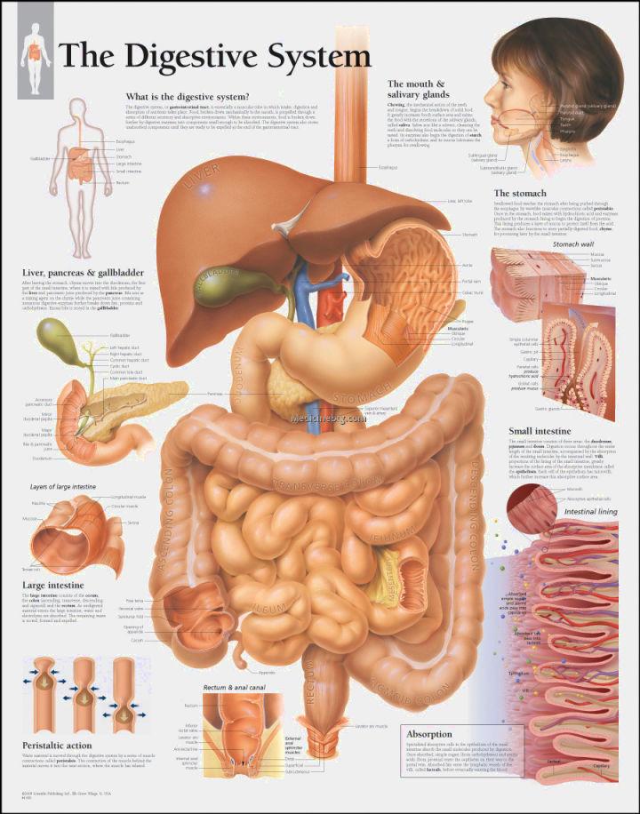 digestive system model labeled