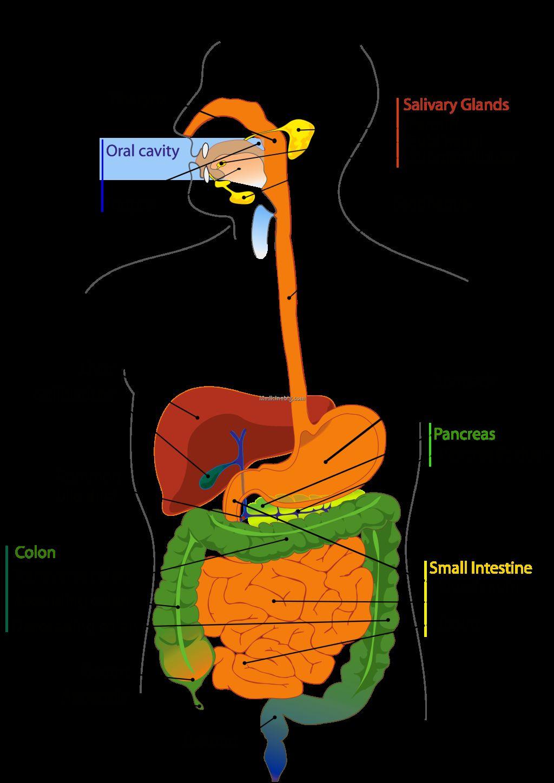 digestive system organs in order