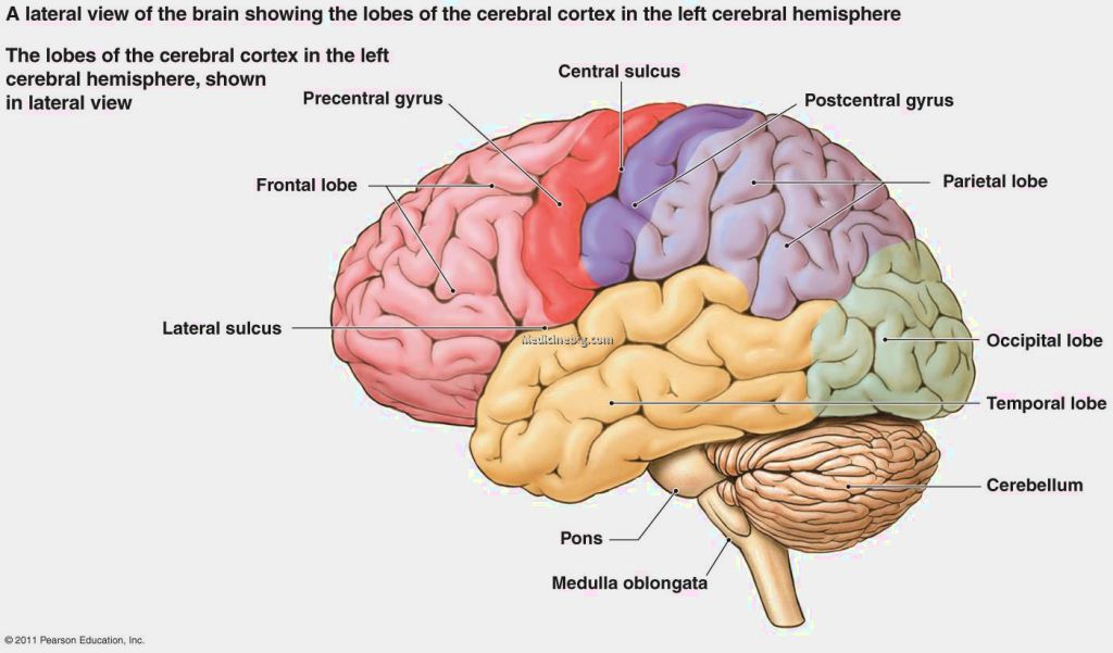 fissures of the brain