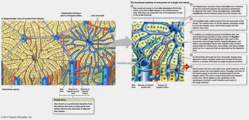 lobules of lungs