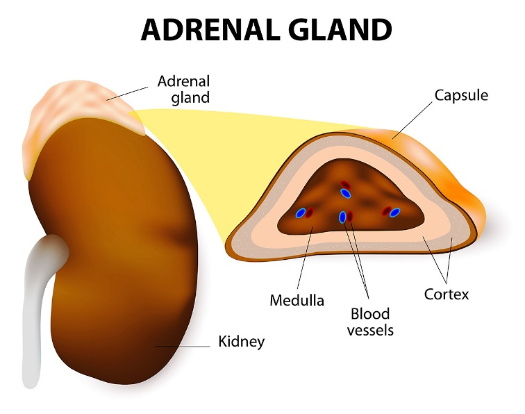 Adrenal Gland Pictures Wallpapers