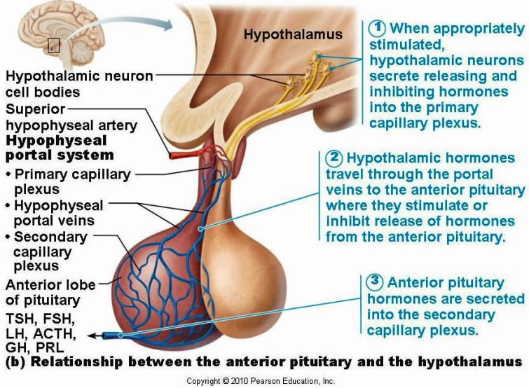Anterior Pituitary Gland Pictures Wallpapers