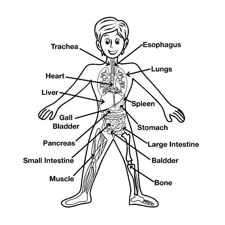 Human Body Diagram For Kids Pictures Wallpapers
