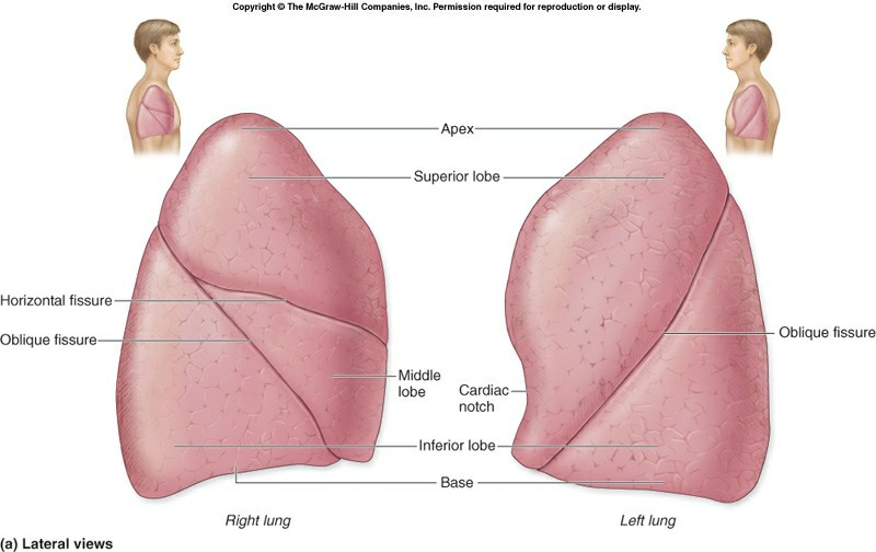 Human Lungs Lobes Lung Lobes And Fissures 177722