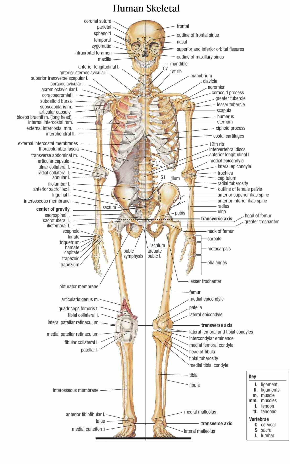 – extensive anatomy images and detailed descriptions allow appendicular skeleton is made up of bones in folowing regions de