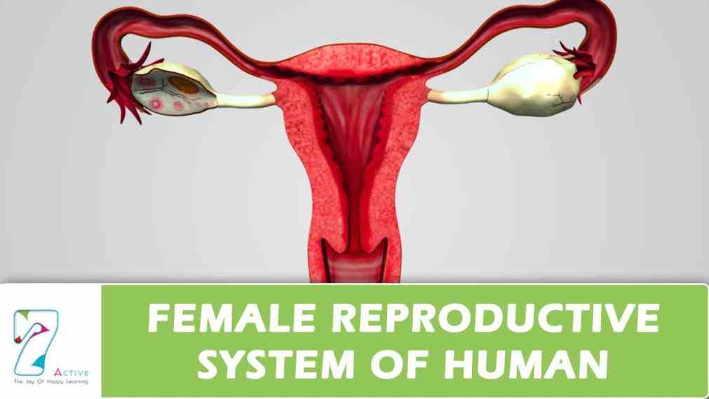 – interactive anatomy diagrams illustrate function of organs from fertilization to birth female Pictures Of Female Reproductive System In