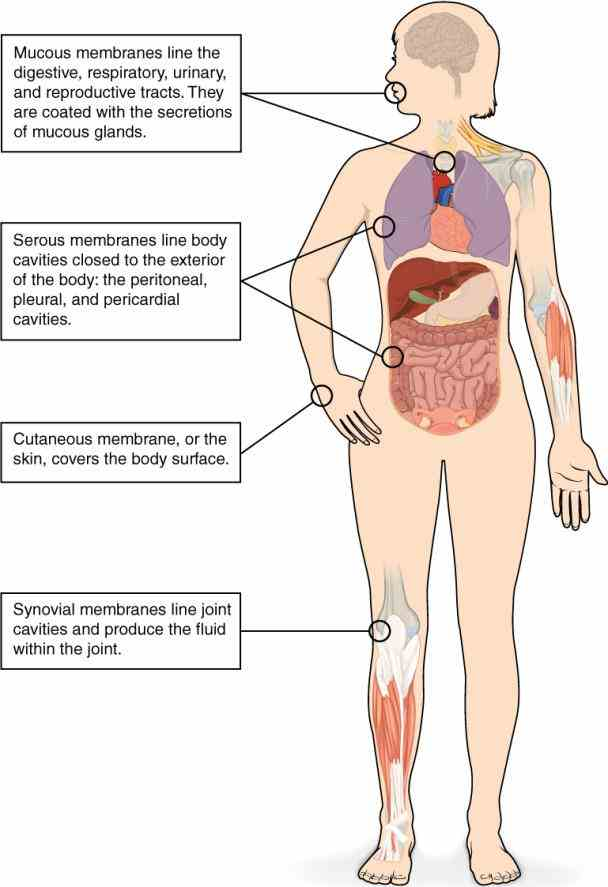 • asthma to Major Organs Of The Body And Their Functions survive and reproduce the human body relies on