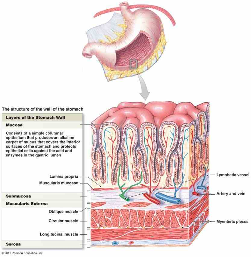 Anatomy Of Stomach And Esophagus Pictures Wallpapers
