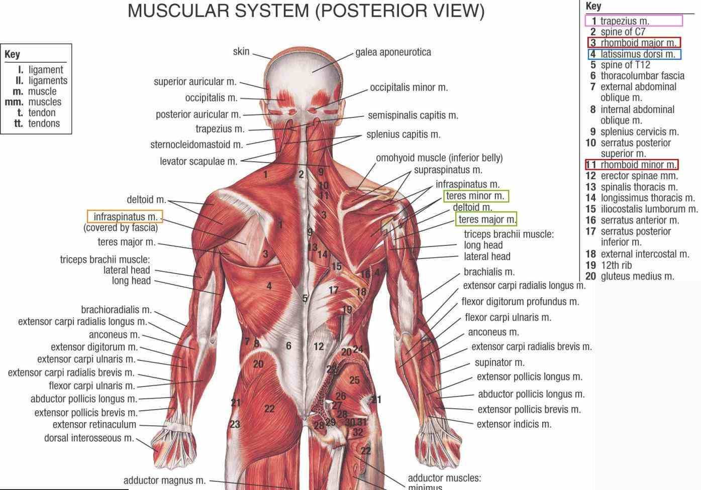 Lower Back Muscle Anatomy Pictures Wallpapers