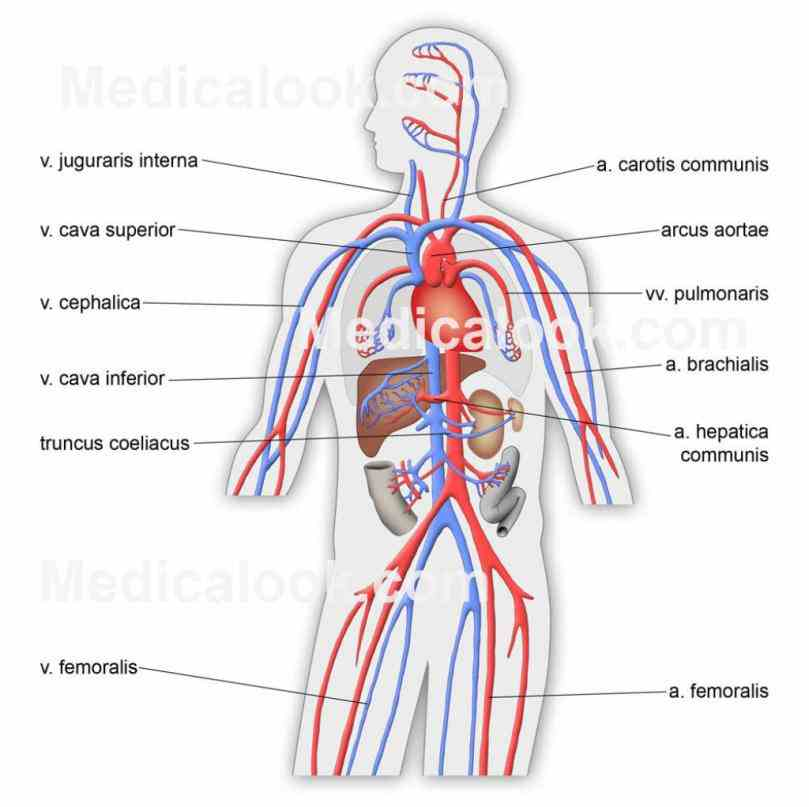 Major Components Of The Cardiovascular System Pictures Wallpapers