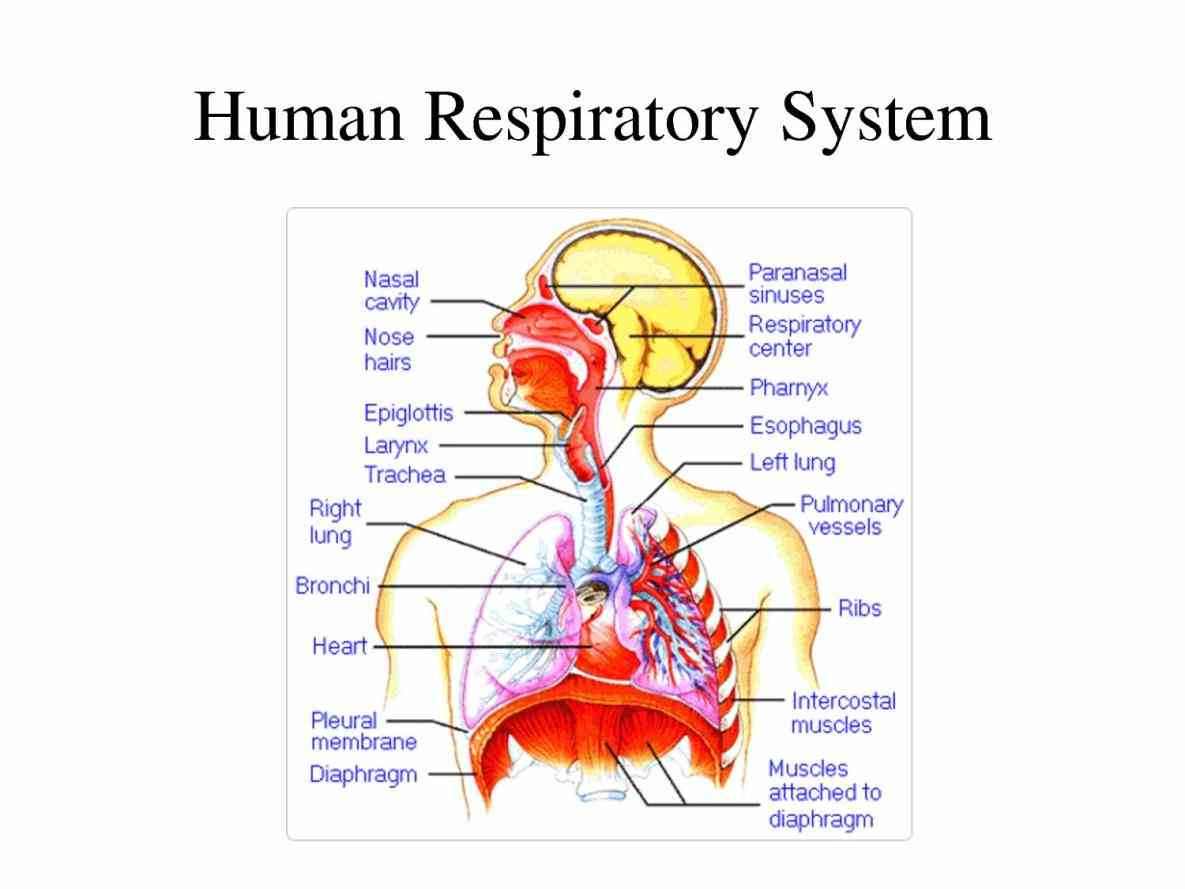 De Labeled Diagram Of The Respiratory System Of A Human