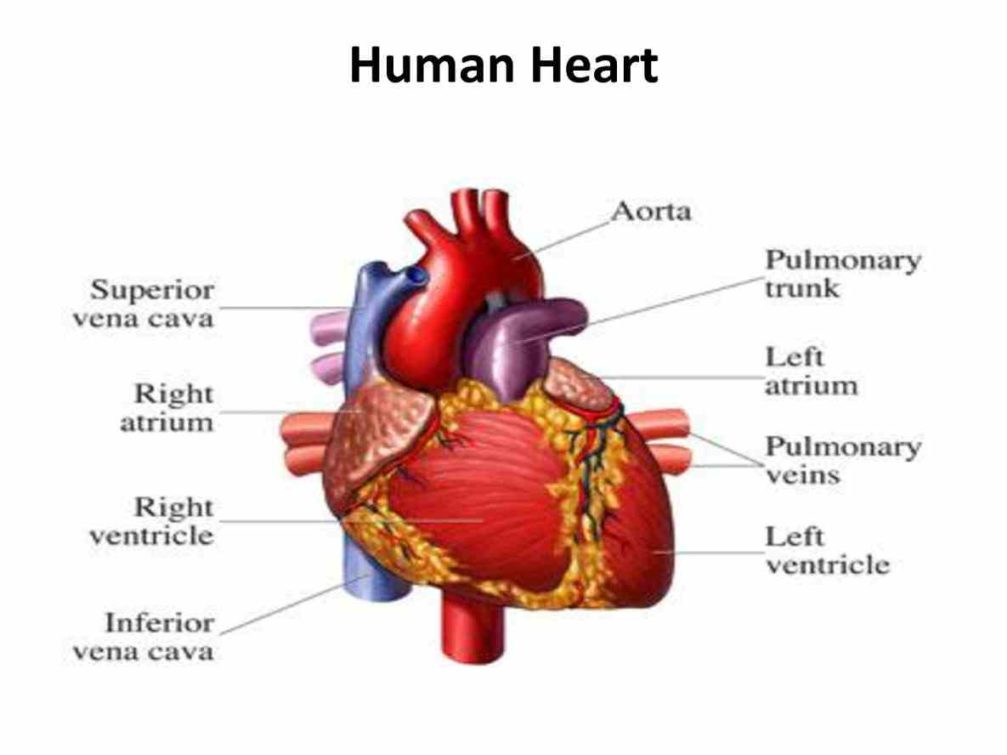 Human Heart And Their Functions part of the human heart ...