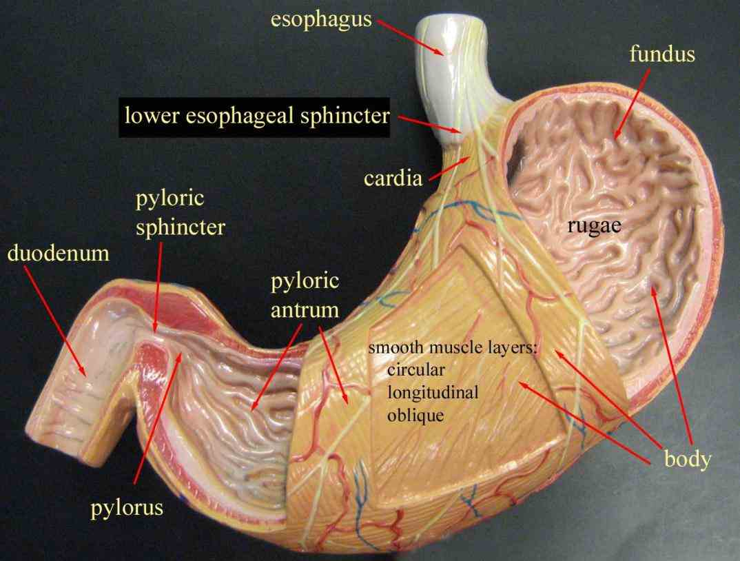 Label The Human Stomach on a diagram the four main regions of stomach its curvatures and sphincter; identify types