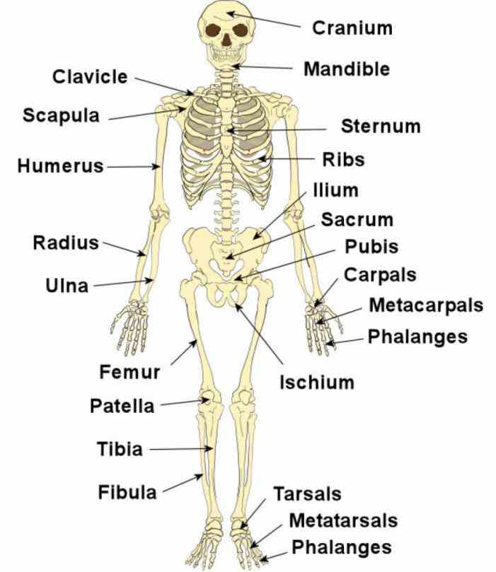 Labelled Human Skeleton diagram showing a front view of human skeleton click Labelled Human Skeleton here to download a