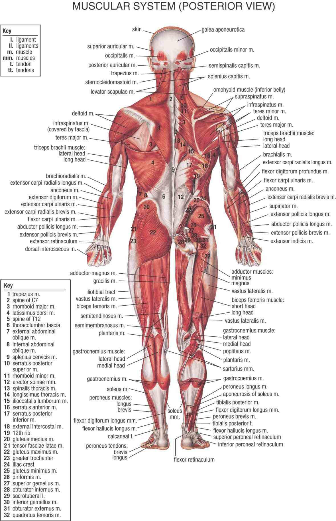 Muscular System Diagram Anatomy muscular system – the muscles of body are illustrated and explained in high detail our