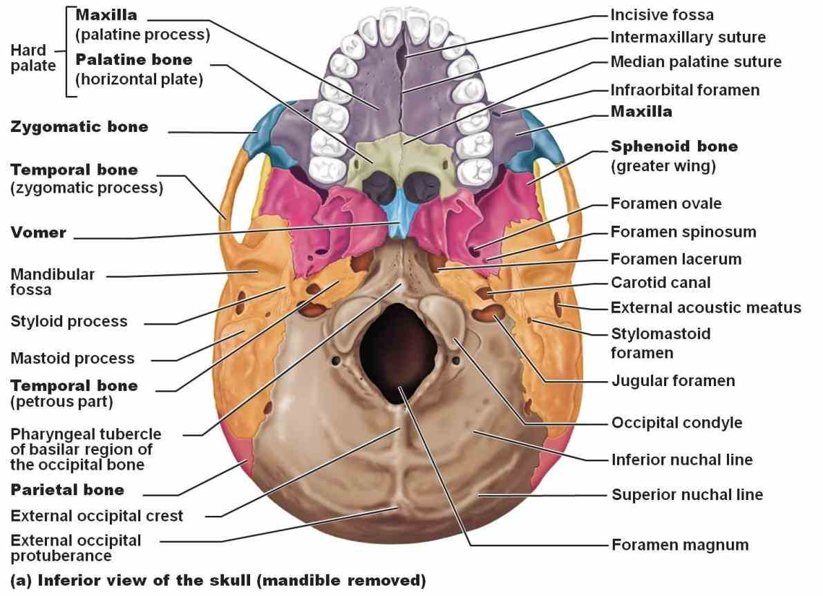 Of The Skull cranium skull is skeletal structure of head that supports face and protects brain it subdivided into
