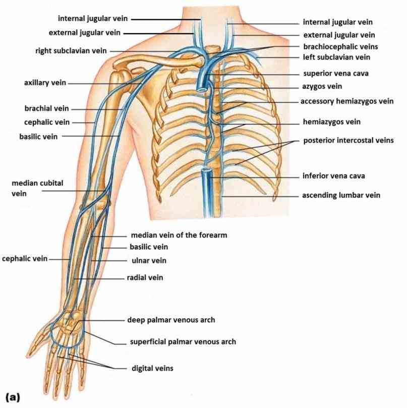 Anatomy Of The Veins In The Arm Pictures Wallpapers