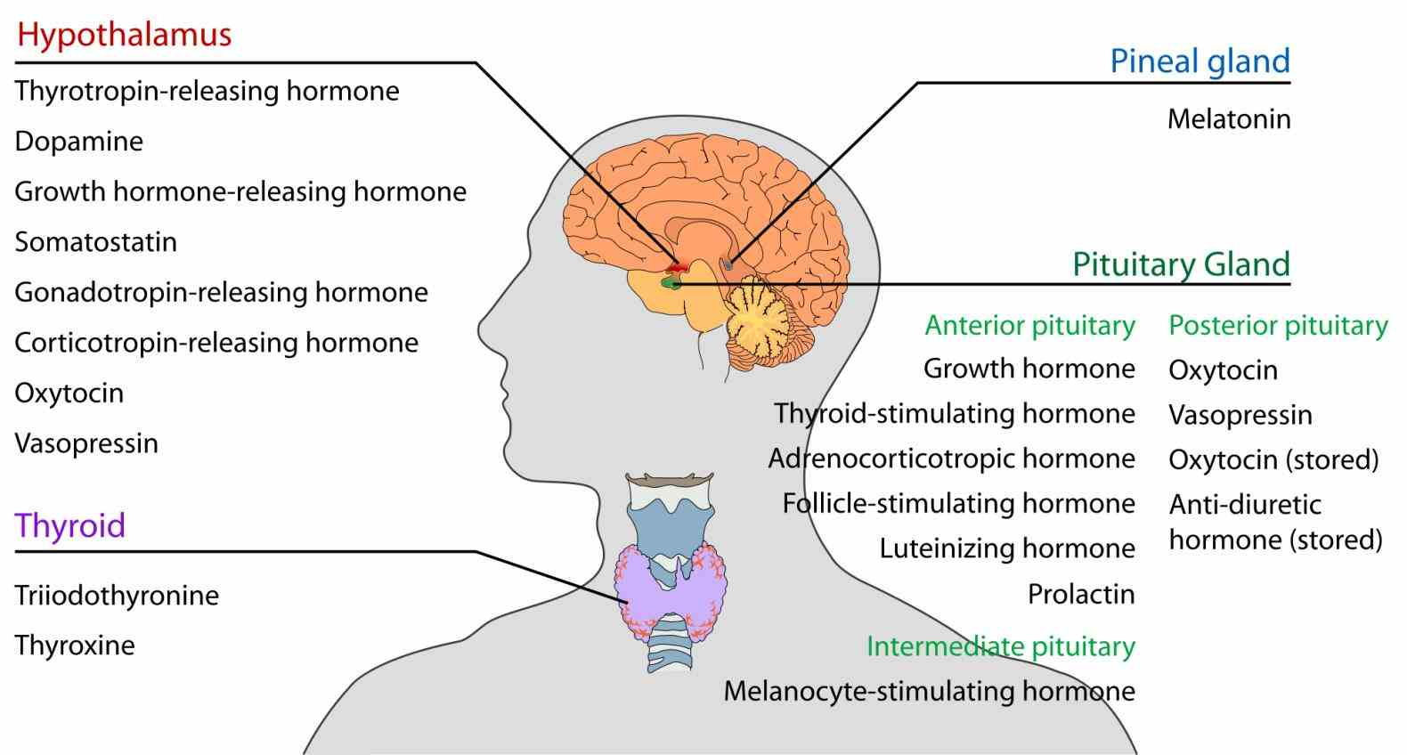 Endocrine System Organ Functions Pictures Wallpapers